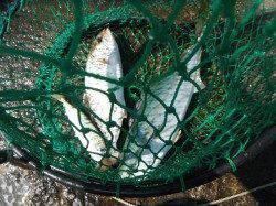 和歌山北港魚つり公園 ハマチ45cm・シオ33cm・アジ25cm