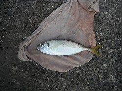 和歌山北港魚つり公園 アジ33cm! グレ・アイゴも釣果あり