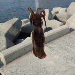 妻鹿(白浜)漁港 今朝8時から30分の釣行でアオリイカキャッチ