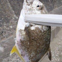 和歌山マリーナシティ ライトタックルでメッキの釣果