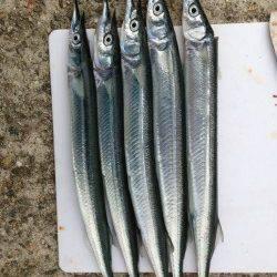 林崎漁港でサヨリ狙い 針はサヨリの3.5号を使用