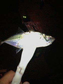 助松埠頭周辺アジング 常夜灯の下ダウンショットで中アジの釣果