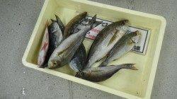 串本和深の地磯にて夜釣りでイサギ・グレなどの釣果