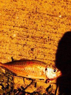 谷川漁港 アジングでカマス・アジ エギングでアオリイカ