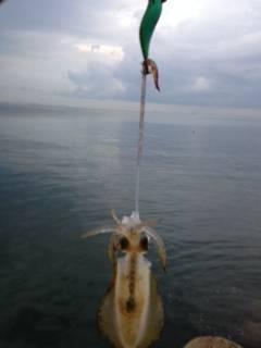 明るくなりだした頃連続ヒット 淡輪漁港アオリイカ少しずつサイズUP