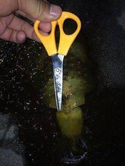 新浜漁港エギング調査 エギ3号のみを使用しトンカツサイズのアオリイカ