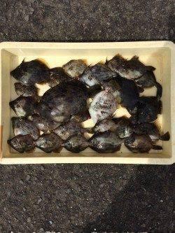 マリーナシティ海釣り公園 カワハギの釣果が上々でした♪