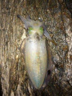 戸坂・塩津漁港周辺エギング アオリイカはシモリの影に潜んでいました