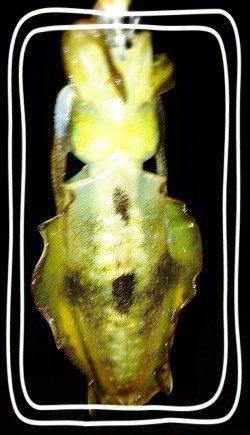 大蔵海岸アオリイカ新子調査♫ コロッケサイズの活性高く短時間で数釣り