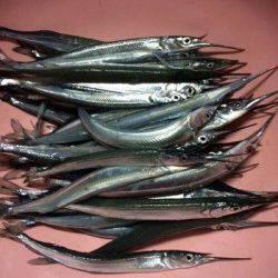 柴山港 初のサヨリ釣りで42匹の好釣果