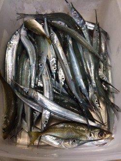 家族連れで賑わう柴山港にてサヨリ54匹の釣果
