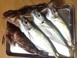 湯浅でアジング 良型ガシラ&アジのほかちっさなカレイも釣れました