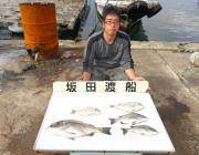 湾内の筏にてチヌ・ヘダイの釣果 ほか良型マルアジも