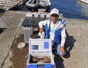 黒島の筏アイゴとアオリイカの釣果