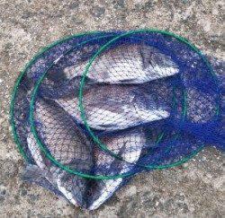 千歳イカダ、チヌが好調です 良型マアジ20~25cmも釣れました