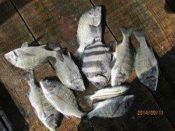 一文字前イカダ2号、1号イカダ、田井の筏のチヌ釣果
