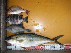 カゴ釣りでヒラマサ60cm&フカセでグレ36cm(^_^)/ 三尾の磯