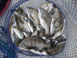 久美浜 宮崎沖カセでチヌ数釣れています