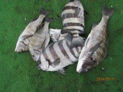 田井の沖イカダ チヌとイシダイの釣果