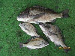 田井のチヌカカリ釣り 一文字前イカダ2号、丸貝で年なし53cm!
