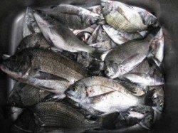 久美浜 チヌかかり釣り 風強くアタリがとりにくい日でした