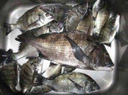 朝から大チヌの食い良く各場所で顔見せました♪ 久美浜の筏・カセ