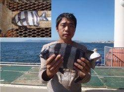 須磨海釣り公園 落とし込みで良型イシダイ