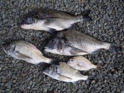 湯浅の磯 紀州釣りで良型チヌの釣果
