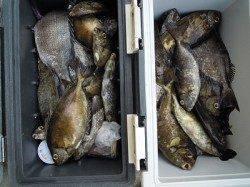 湯浅の磯 フカセでアイゴの釣果あり
