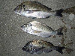 湯浅の磯 紀州釣りでチヌ エサはボイル・ねりえ・コーンで