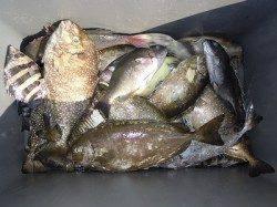 酒カスをエサに良型アイゴ 湯浅の磯フカセ釣り