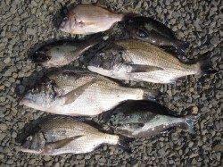 紀州釣りでチヌ&グレ 餌はコーンです