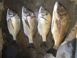 湯浅の磯で紀州釣り チヌ45cmを頭に4枚