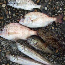 本荘人工島 投げ釣りでキス・チャリコなど夜明け前の入れ食いに満足