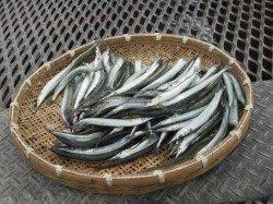 尼崎市立魚つり公園 今年はサヨリがたくさん、足元や内向きでも!