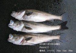 円山川にてシーバス 73㎝・72㎝・70㎝の良型3本!