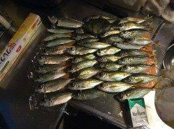 岸和田 14時からのサビキ釣行 夕方は良型のアジも