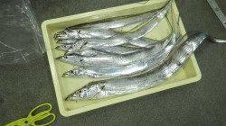 キビナゴのウキ釣りでメーターオーバーのタチウオ!