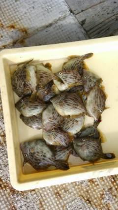 沖の北、探り釣りでカワハギ20匹☆ メバルやガシラも釣れています