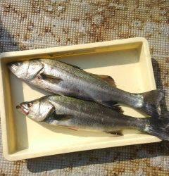 岸和田一文字 旧の赤灯台や沖の北でのアジのノマセ釣りで良型スズキ