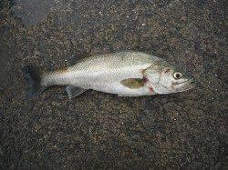 北港釣り公園 スズキ・ハマチ・メバルの釣果