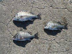 和歌山北港魚つり公園 紀州釣りで良型チヌ