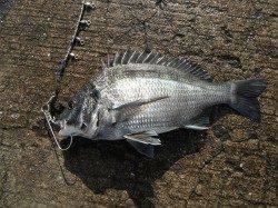 和歌山北港魚つり公園 カゴ釣りでサゴシ・アジ