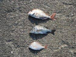 和歌山北港魚つり公園 カゴ釣りでマダイ37cm・チヌ35cmなど