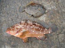 北港釣り公園 アコウ・カワハギ・チヌなどの釣果