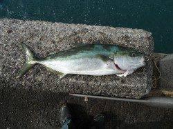 和歌山北港魚つり公園 ハマチ50cmの釣果