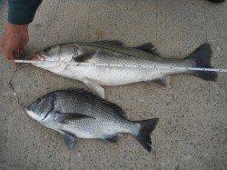 和歌山北港魚つり公園 サンバソウ36cm ほか良型スズキの釣果もありました
