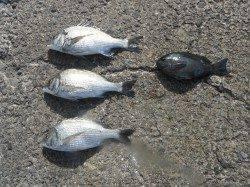 和歌山北港魚つり公園 ナイスサイズのチヌとグレの釣果