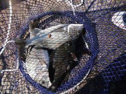 和歌山北港魚つり公園 天秤カゴ釣りでナイスサイズのチヌ・グレ