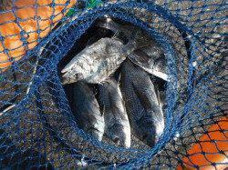 北港釣り公園 チヌ・グレ・メバルの釣果